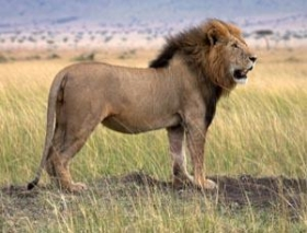 Kenya''s lions
